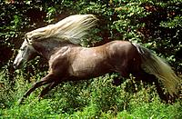 Barb horse _ running
