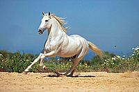 Andalusian horse _ galloping