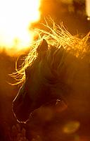 Andalusian horse _ portrait _ sunset