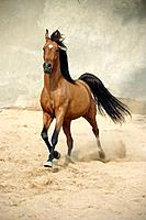 Arabian horse in sand