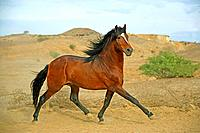 Arab_Barb _ trotting
