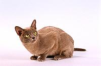 Burmese cat _ sitting _ cut out