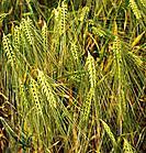 barley _ ears