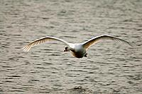 swan _ flying / Cygnini