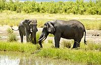 two African elephants / Loxodonta africana