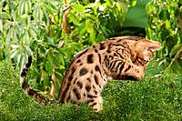Bengal kitten _ sitting lateral