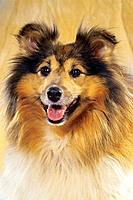 Sheltie _ portrait