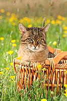 tabby cat in basket in the meadow