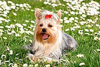 Yorkshire Terrier lying in the meadow
