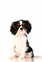 Cavalier King Charles Spaniel _ puppy _ sitting _ cut out
