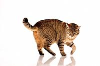 tabby cat _ walking _ cut out