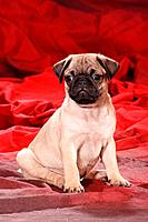 pug puppy _ sitting