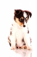 Sheltie puppy _ sitting _ cut out