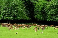 Red deers, fallow deers and Canada gooses on meadow