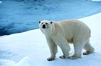 Polar Bear on Ice Yukon