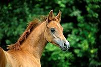Arabian horse _ foal _ portrait