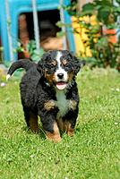 Bernese mountain dog _ standing on meadow
