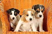 Jack Russell Terrier _ three puppies sitting on chair