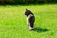 Carthusian cat _ standing on meadow