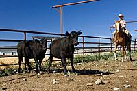 Man in western outfit, driving cattle, Ponderosa Ranch, Oregon, USA, cowboy, cowgirl, wild west