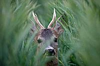Roe Deer, buck in wheat, Austria, Capreolus capreolus, hidden