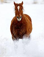 A beautiful painted horse galloping through the snow in Shell, Wyoming, Usa