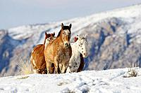 A group of horses trotting through the snowy field in Shell, Wyoming, Usa
