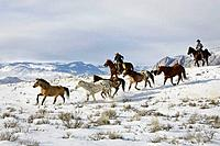 Cowboys herding horses in winter, Shell, Wyoming. Usa
