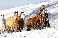 Cowboy herding horses in winter, Shell, Wyoming, Usa