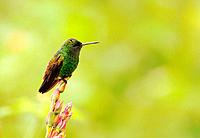 Copper-rumped Hummingbird, Amazilia tobaci