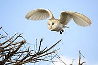Barn Owl, tyto alba, hunting along roadside hedge, Norfolk, UK, March