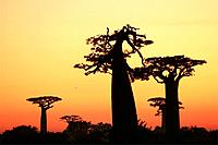 The baobabs alley of Morondava