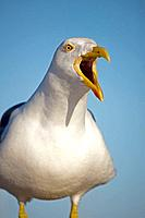 Yellow-footed Gull (Larus livens) - Adult Portrait - Calling - Sonora - Mexico