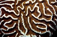 Brain coral (Platygyra sp.). Rinca, Indonesia.