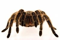 Chilean rose tarantula Grammostola rosea on white background