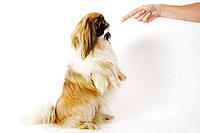 Pekinese dog rearing up, looking at woman´s hand pointing