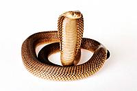 Cape Cobra Naja nivea on white background