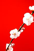 Japanese flowering apricot prunus mume, close_up
