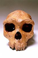 Hominid fossil skull of Rhodesia man, Homo rhodesiensis and Homo sapiens rhodesiensis, also known as Broken Hill man and Kabwe man. It was excavated a...