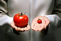 Genetic modification of tomatoes, conceptual image. Researcher comparing an oversized tomato with a very small one.