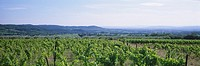 France, Provence, Rhone Valley, vineyard