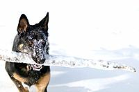 Snow covered German shepard dog carrying stick, outdoors