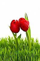 Two red tulips with water drops in spring grass.