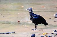 American black vulture, Coragyps atratus, standing on a beach. Isla Coiba National Park, Panama. UNESCO World Heritage Site.