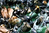 Polyrhachis laboriosa ant queen. The queen is a reproductive female ant that is the mother of all the other ants in the colony. This African ant speci...