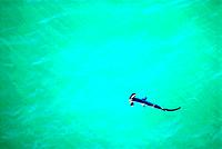Smooth hammerhead shark Sphyrna zygaena. Smooth hammerhead sharks are large up to four metres in length and live in temperate and tropical seas. They ...