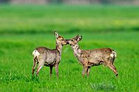 Roe deer and Roe buck, Capreolus capreolus, Germany