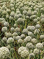 Onion Allium flowers, Green Onion Stalks with white flowers in the field  Satara, Maharashtra, India