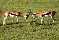 Two Thomson gazelle rut