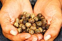 Teak seeds, Darien province, Rep.of Panamá, Central America. 2005